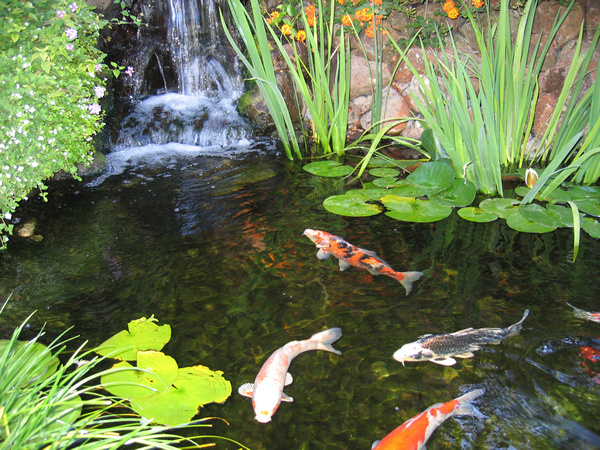 Koi pond photos garden koi pond guide enjoy the beauty for Koi fish in pool